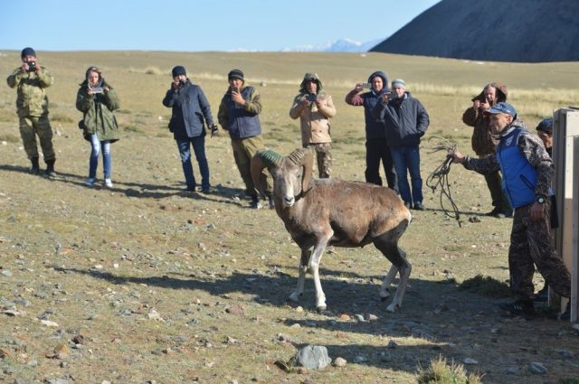 Аргали выпустили в горы месяц назад.