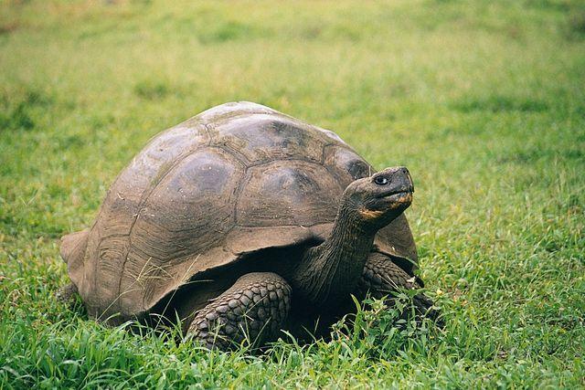 Иззаповедника наГалапагосских островах украли неменее 100 огромных черепах
