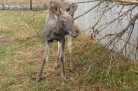Дикое животное заметили на улице Якутской.