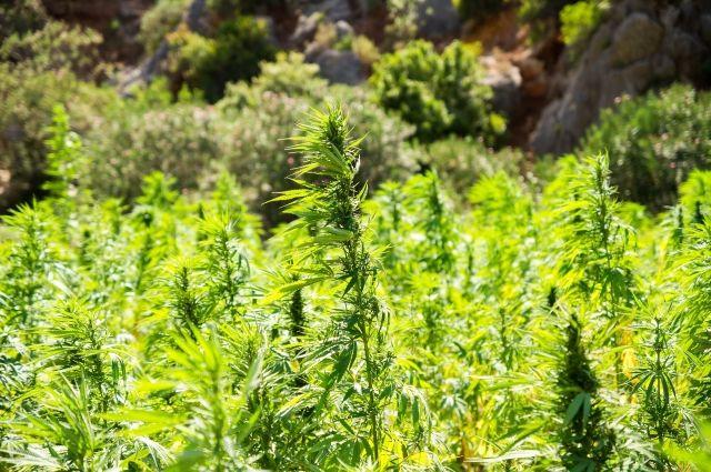 В Бузулукском районе за период операции «Мак-2018» выявлено 53 очага произрастания дикорастущих наркосодержащих растений.