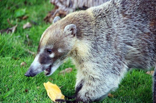 Носуху привезли из зоопарка Санкт-Петербурга.