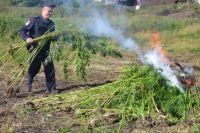 В Кунгуре оперативники обнаружили целый гектар дикорастущей конопли.