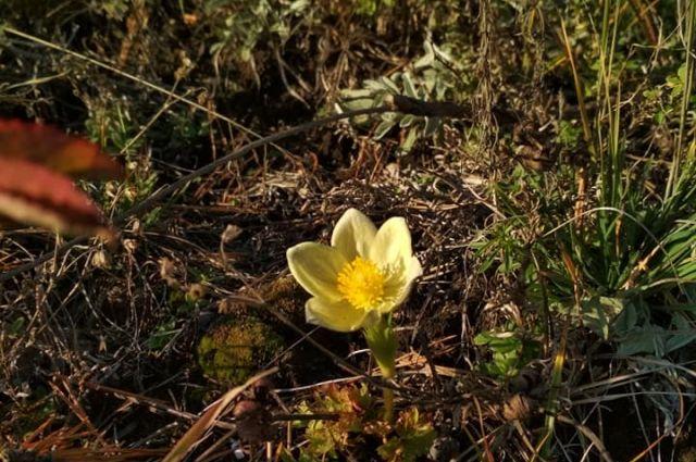 Сон-трава расцвела на горе возле Манской петли.