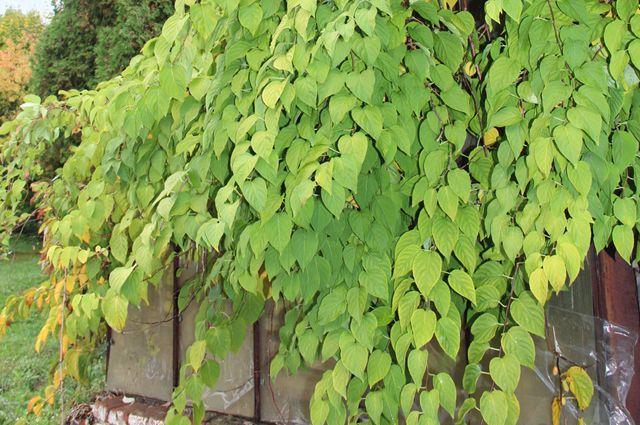 ЕщёИ.В.Мичурин считал, что «вбудущем актинидия унас займёт одно изперворазрядных мест вчисле плодовых растений нашего края, способных… совершенно вытеснить виноград».