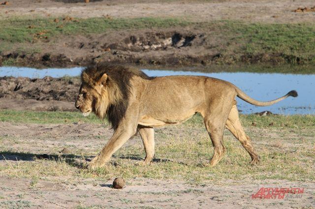 Лев сожрёт твоё сердце. Как обозреватель «АиФ» работал рейнджером в Африке - Real estate