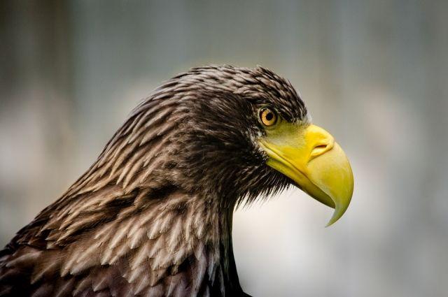 Тюменцы обнаружили возле Боровского дезориентированного орлана-белохвоста
