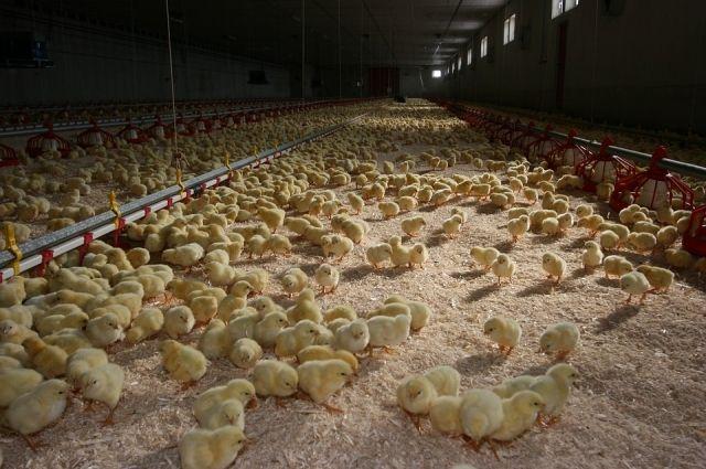 Чтобы цыплята лучше росли, на предприятии использовали антибиотики.