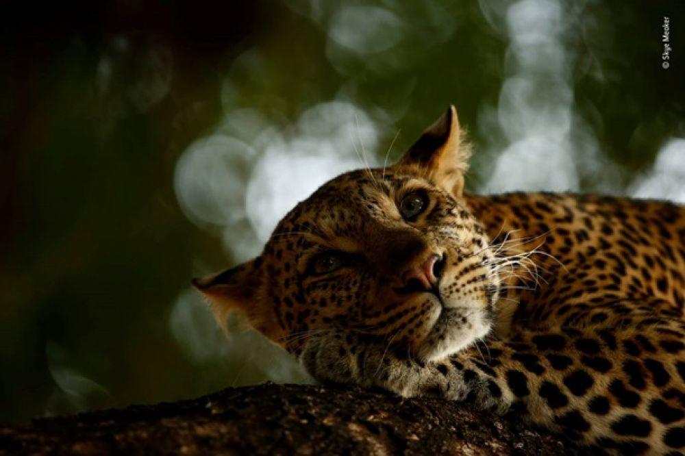 А этот снимок очень милый: дикая кошка отдыхает после охоты.