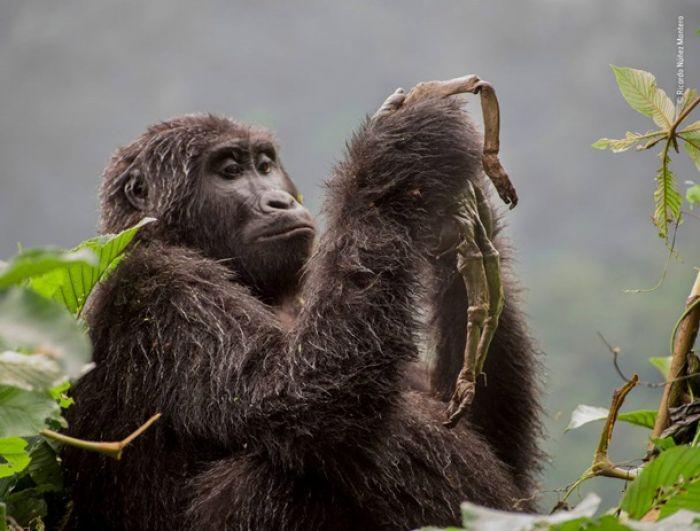 Фотограф не случайно поймал кадр с обезьянками, он долго следил за животными, изучая их повадки.