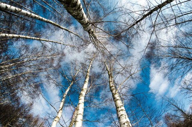 Подростки срубили на дрова шесть березок.