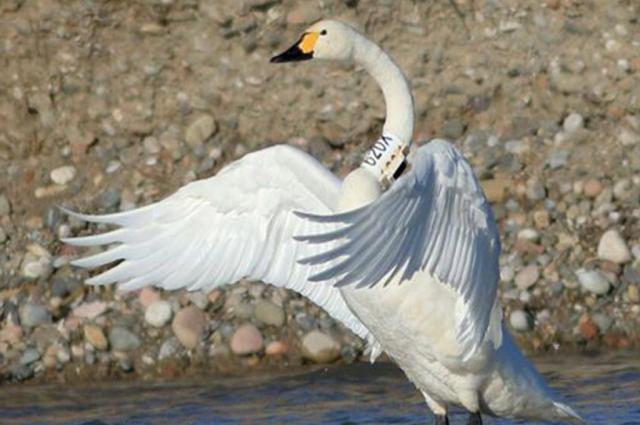 Ученые анализируют GPS-сигналы от помеченных ямальских птиц