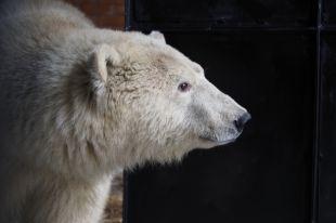 Медвежонка привезли в Красноярск с полуострова Диксон.
