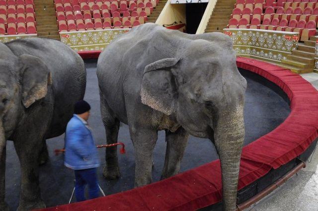 Слонихи ещё молоды - им всего 45 и 50 лет.