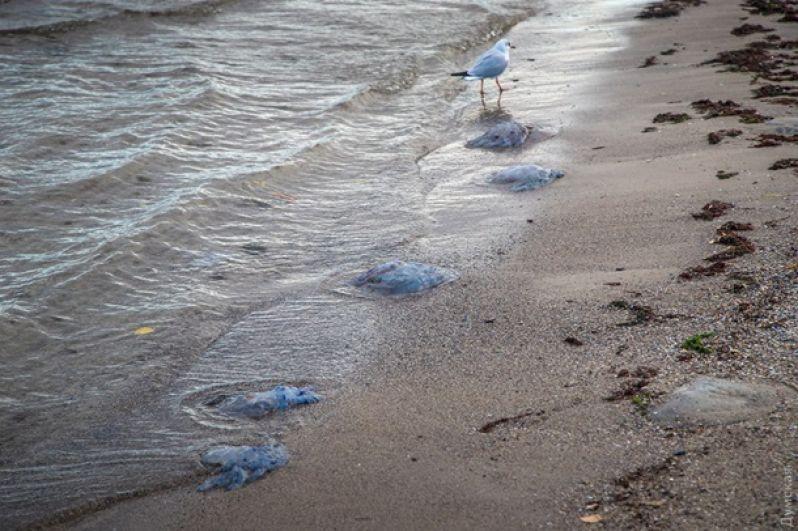 В сентябре пляжи Одессы атаковали медузы. Прибрежная полоса Лузановки была усеяна телами тысяч медуз.