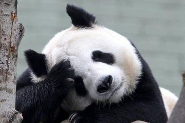 За фото с пандами якобы будет полагаться штраф в размере 150 долларов США.