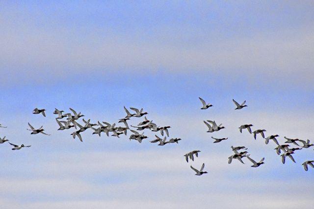 В конце октября через Оренбуржье летят стаи уток.