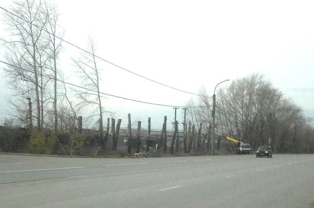 Тюменская организация нарушила технологию обрезки тополей на ул. Республики
