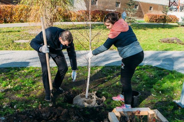 Тюменцы за неделю высадили на улицах города 522 дерева