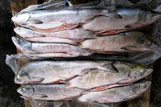 Житель поселка, 31 июля, не имея разрешения, незаконно добыл 68 штук рыбы лососевых видов