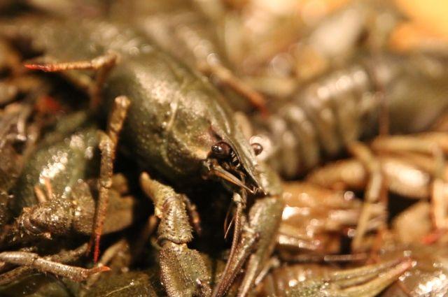 В Оренбуржье уничтожили 153 кг речных раков из Казахстана.