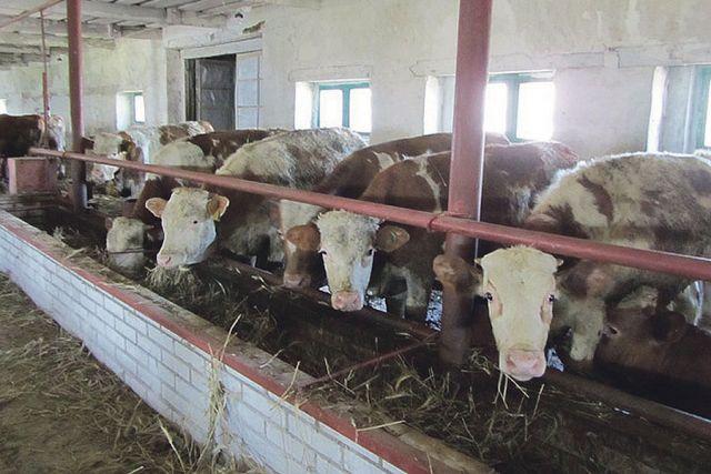Отличительной чертой этого сельхозпредприятия является выращивание поголовья преимущественно племенной мясомолочной породы.
