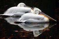 Кудрявые пеликаны
