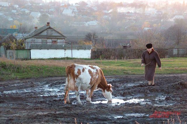 Новое экономическое чудо - сельская буренка.