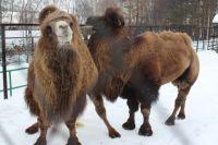 Верблюды решили прогуляться по Назарово