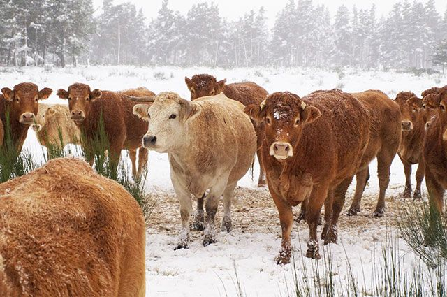 Стадо коров увели за 20 километров от пастбища.