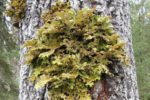 На малейшее изменение в составе минеральных осадков лишайник реагирует мгновенно и «заболевает».
