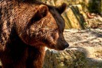В Ноябрьске один из медведей не ушел в спячку и пугает горожан