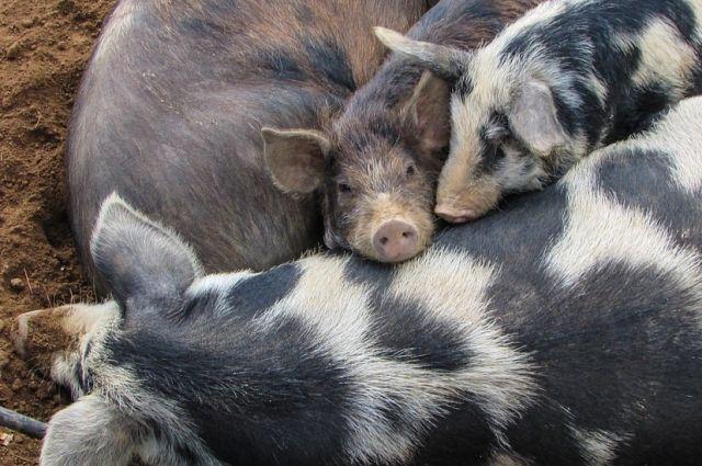 В тюменской деревне обнаружено место сброса останков свиней
