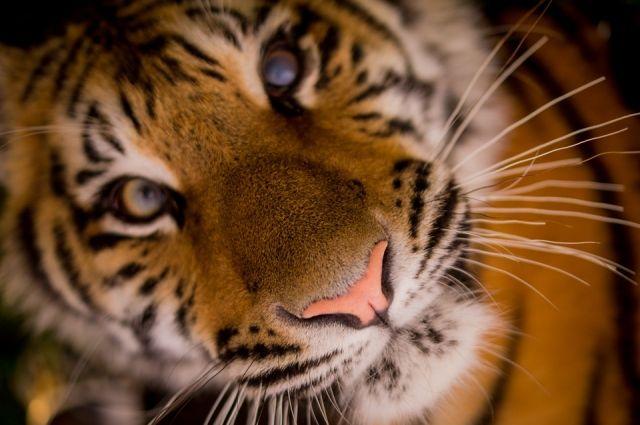 Дальневосточные зоозащитники призывают Китай не отменять запрет.