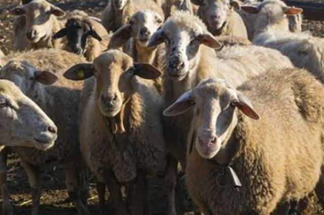 И власти сыты, и овцы целы: животных не будут убивать, а отдадут на ферму