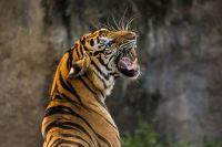 Тигриная семья попала в поле зрения пограничников.