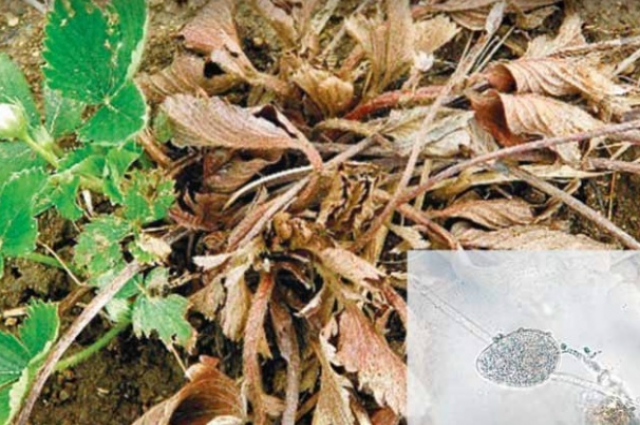 Заболевание распространяется через заражённый посадочный материал.