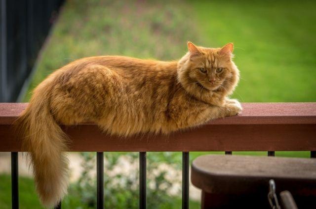 У 75% кошек болезнь протекает в скрытой форме.