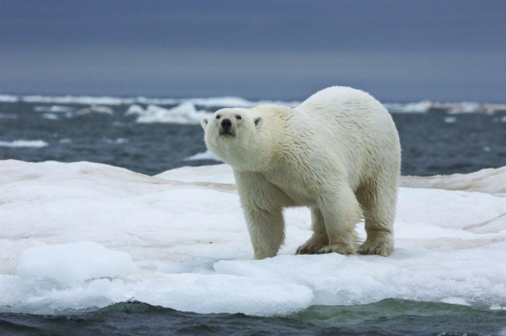 Арктика - родина белого медведя.
