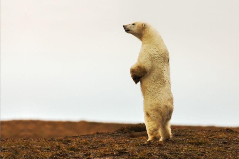 Белый медведь заметил что-то интересное.