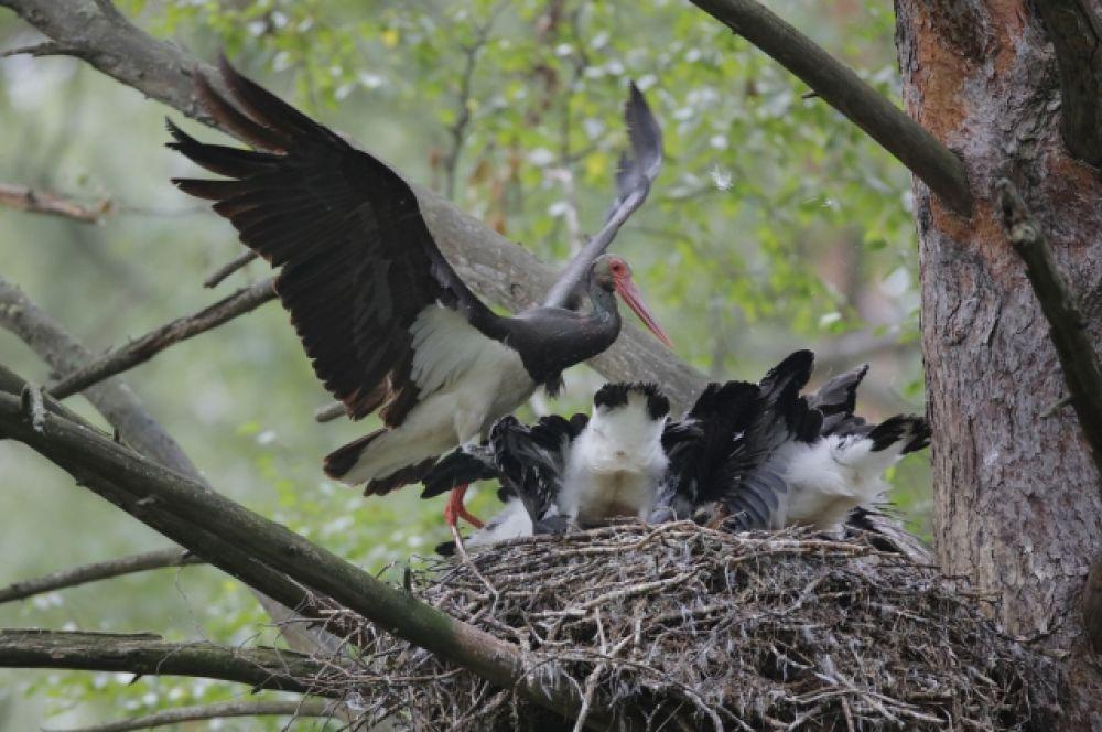 В гнезде с птенцами.