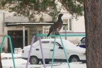 В настоящее время птица по-прежнему обитает в окрестностях города.