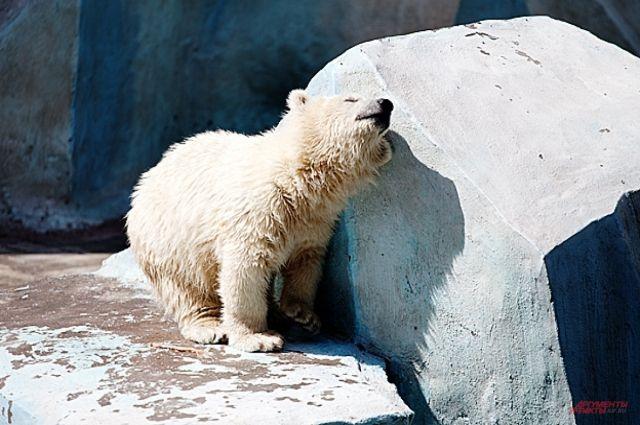 В бассейнах у белых медведей спустили воду.