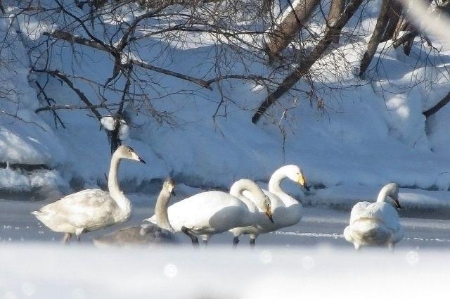 Омичи спасают лебедей, вмерзших в лёд на озере у Черлакского тракта