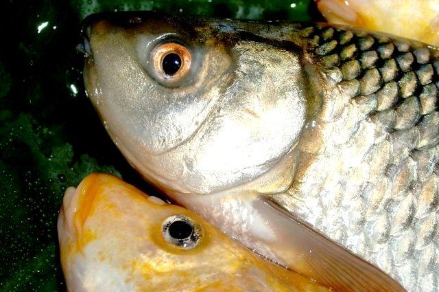 Ставку на местную рыбу делает тюменский завод «Эра-98»