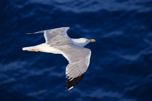 Чайку нашли на льду Обского моря.