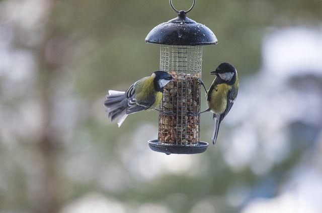 Птицы обрадуются подкормке в виде несолёных семечек, семян и косточек.
