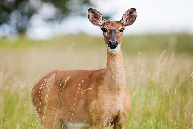 В общедоступных охотничьих угодьях охота на косулю запрещена.