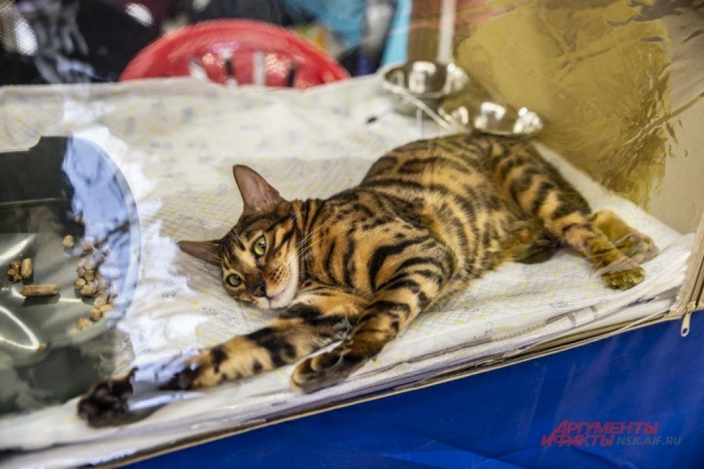 На выставку привели кошек самых разнообразных пород. Были среди них бенгальские кошки.