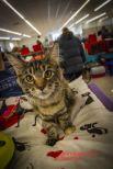 Кошки на выставке умеют работать на камеру.