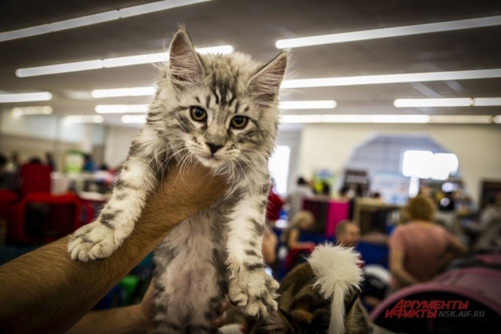 На выставке «Золотая кошка Новосибирска».